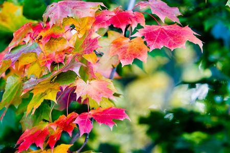 Arce deja en hermosos colores de oto�o  Foto de archivo