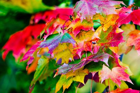 Maple leaves in beautiful autumn colours Stock Photo