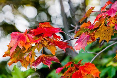 Feuilles d'�rable aux belles couleurs d'automne