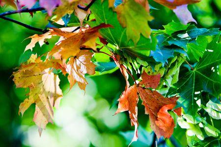 Feuilles d'?rable aux belles couleurs d'automne  Banque d'images