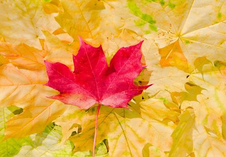 Maple leaves in paints of  beautiful autumn Stock Photo