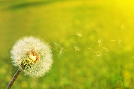 Ein Löwenzahn-Samen weht im Wind.