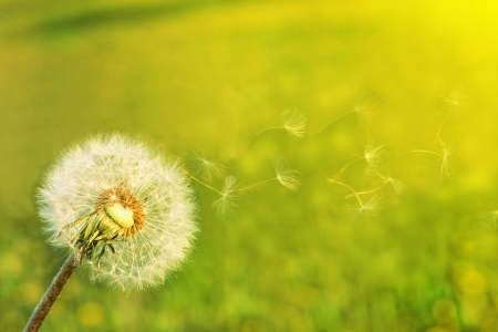 Un pissenlit souffler des graines dans le vent.