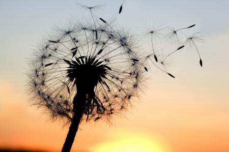 vent: Un pissenlit souffle des graines dans le vent.