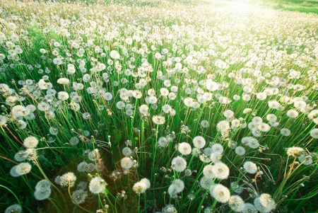 White dandelions in a bright sunny day Stock Photo