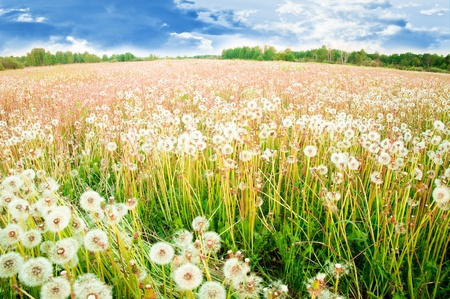 White dandelions on a summer solar meadow photo