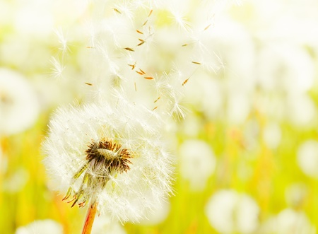 White dandelions on a summer solar meadow Stock Photo