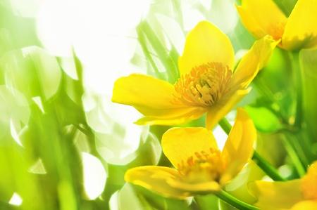 Flores de primavera amarillo sobre fondo tenue