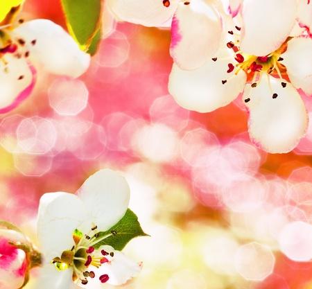 Flores Manzano en un jard�n de primavera. El fondo espaldo es arrasado. Foto de archivo