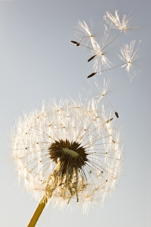 dandelion wind: A Dandelion blowing seeds in the wind.