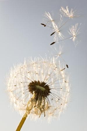 Un pissenlit souffle des graines dans le vent.