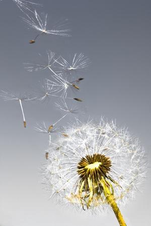 Un diente de le�n soplar semillas en el viento. Foto de archivo