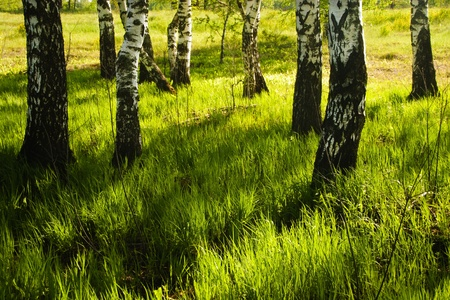 birch forest in sunlight in the morning Stock Photo - 9872332