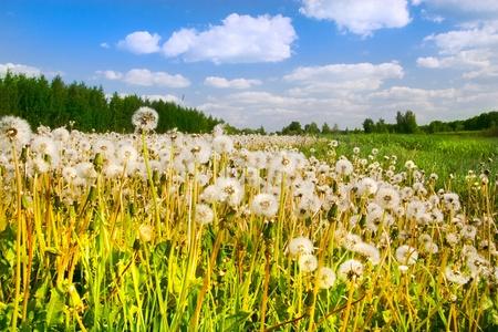 Dientes de Le�n en una hierba y el cielo azul oscuro fino en las nubes