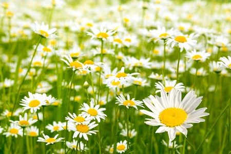 Very beautiful camomile  on a green meadow Stock Photo