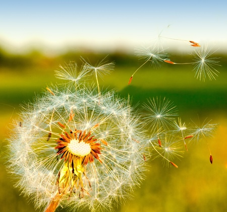 blowing of the wind: dandelion blowing seeds in the wind.