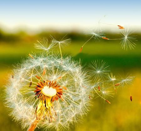 el viento sopla semillas de diente de León.