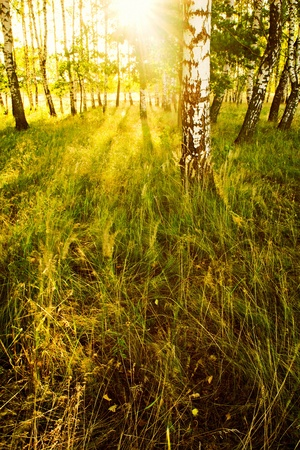 bosque de abedul en sol de la ma�ana