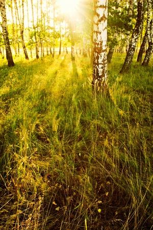 for�t de bouleaux en plein soleil le matin