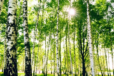 birch forest: birch forest in sunlight in the morning Stock Photo
