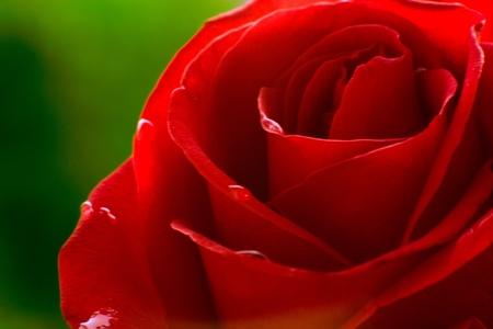 Macro image de dark rose rouge avec des gouttelettes d'eau. Extreme close-up avec le DOF peu profond. Banque d'images
