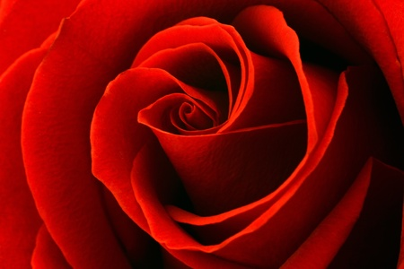 .Macro image of dark red rose . Extreme close-up with shallow dof.