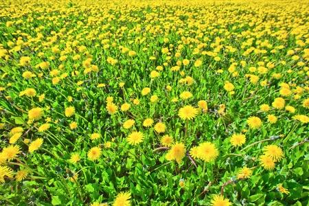dientes de le�n en un prado de verano solar Foto de archivo