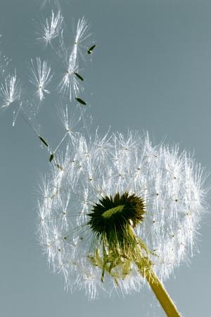 Un pissenlit soufflant les graines dans le vent.