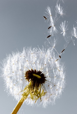 A Dandelion blowing seeds in the wind. photo