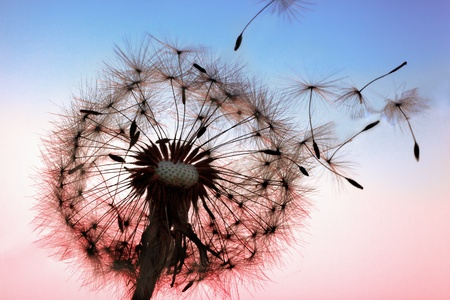 blowing wind: A Dandelion blowing seeds in the wind.