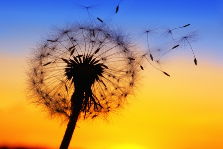 blowing of the wind: A Dandelion blowing seeds in the wind.