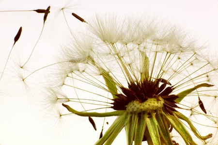 Macro kind of a dandelion scattering seeds photo