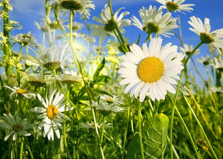 camomiles hermosos en un prado verde