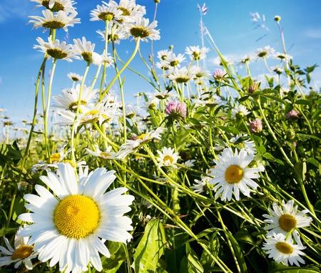 camomiles hermosas en un prado verde Foto de archivo