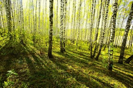 bosque de abedul en la luz del sol de la ma�ana