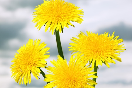 Dandelions  Stock Photo