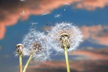 Un diente de le�n que sopla las semillas en el viento. Foto de archivo