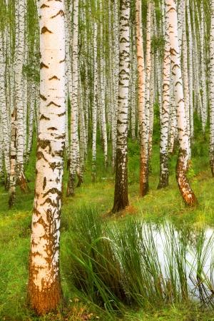 abedul bosque en la luz del sol cerca de una laguna en la ma�ana