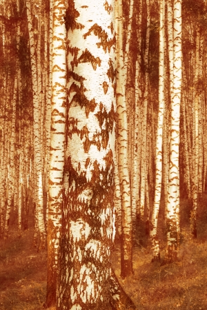 birch forest in sunlight in the morning photo