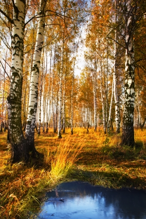 Autumn birch forest in sunlight near a pond in the morning