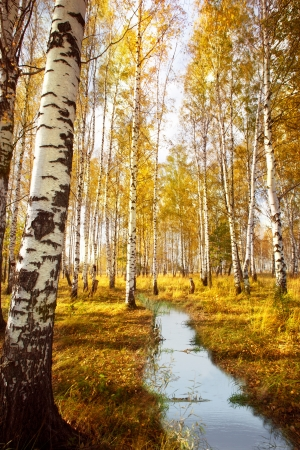 Autumn birch forest in sunlight near a  river in the morning