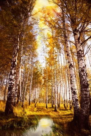 Autumn birch forest in sunlight near a  river in the morning photo