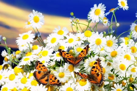Three butterflies among bright blossoming camomiles against  dark blue sky