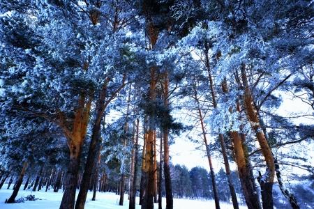 Paisaje de invierno. �rbol de pino cubierto de escarcha Foto de archivo