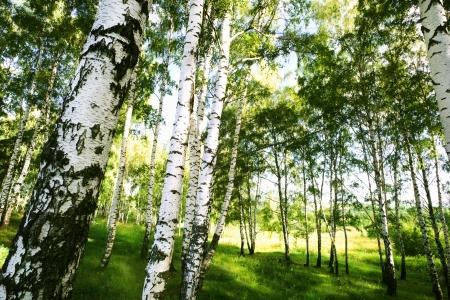 abedul bosque en luz del sol de la ma�ana