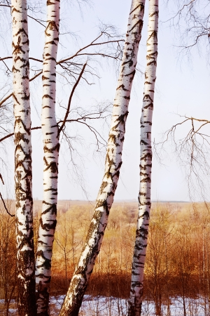 Birch forest in sunlight Spring