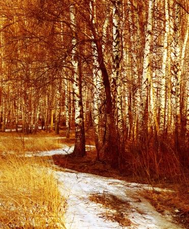 Bosque del abedul en sunlight.Spring. Foto de archivo