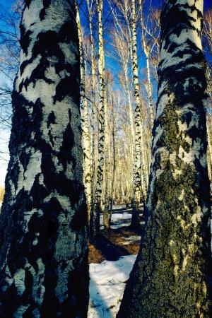 Bosque del abedul en la luz del sol de primavera