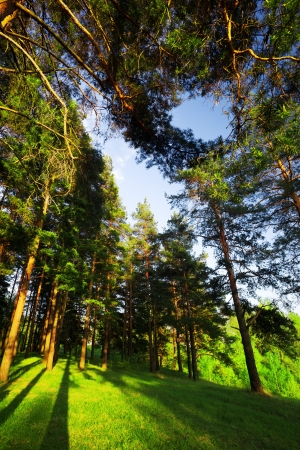 Solar morning in pine forest Stock Photo