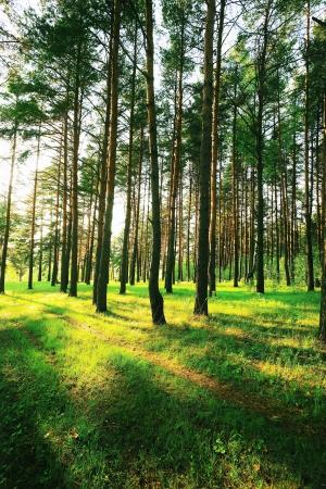 Ma�ana solar en el bosque de pinos
